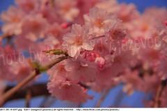 2011-04-14 0597 Sakura, Prunus serrulata, the weeping cherry tree blossoms (Badger 23 / jezevec) Tags: park pink flowers flower tree cherry spring blossom indianapolis blossoms indiana anh bloom  flowering sakura blooms holliday weeping hoa blooming prunus cerezo weepingcherry    kirschblte   jezevec cvijet serrulata shidarezakura prunusserrulata o krsbr   cseresznyevirg japanskt  hoaanho kirsuberjatr badger23 namumulaklak  trenjin    seresang trenjincvijet