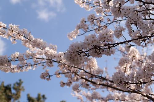見附公園の桜1