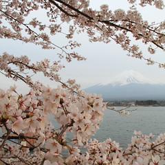 Sakura-Fuji (joytrip*) Tags: japan canon 桜 cherryblossom 18200 富士山 yamanashi 河口湖 山梨 kawaguchilake eos7d