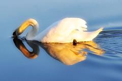 (hetty m) Tags: swan zwaan