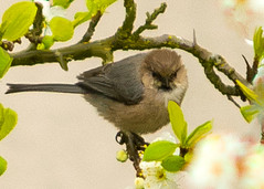 Bushtit Visits (metadata man) Tags: bird photoshop watercolor backyard paint tit bushtit psaltriparusminimus cs5 mixerbrush