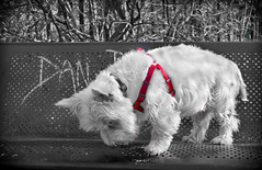 Dans Seat (CWhatPhotos) Tags: pictures red dog pet west colour monochrome animal canon walking that lens happy eos photo paw chair walks pointy foto image zoom photos seat picture ears canine images have terrier highland part fotos 7d coloring sniff paws westy sniffing which colouring trot contain partial selective trotting 18200mm cwhatphotos