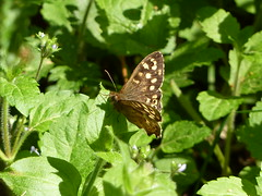 "Speckled Wood Butterfly • <a style=""font-size:0.8em;"" href=""http://www.flickr.com/photos/61957374@N08/5637686989/"" target=""_blank"">View on Flickr</a>"