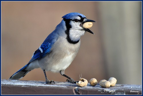 Are you happy now Mr. Blue Jay?? Those peanuts should keep you out of trouble for a few mintues! (Explore)