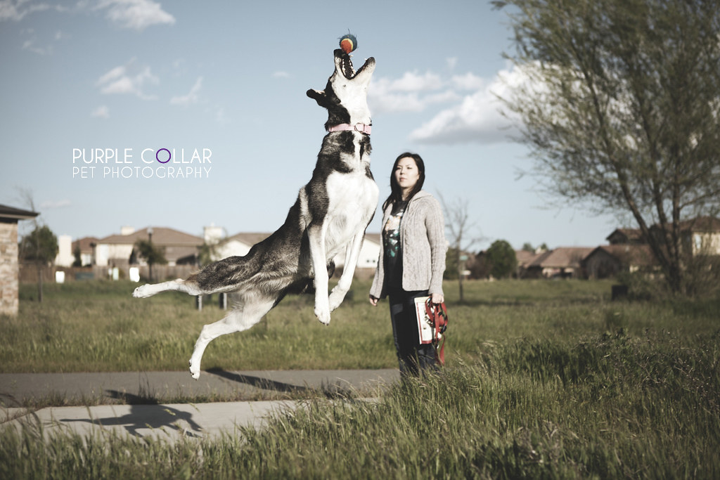 Air Husky -- Purple Collar Pet Photography: Sacramento and San Francisco Bay Area Pet Photography