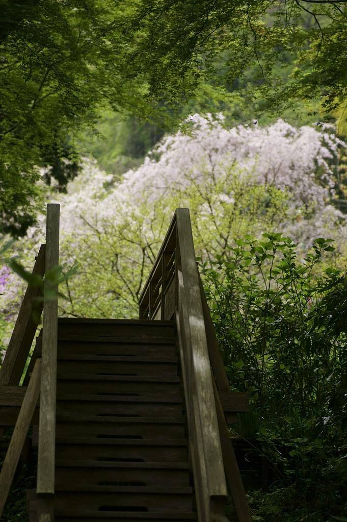 Cherry Blossom 132