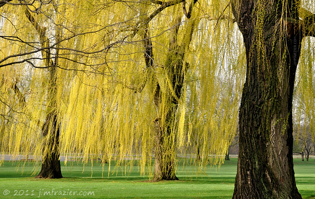Willows Blooming on the Parade Ground