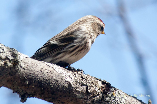 Common Redpoll (9 of 22).jpg