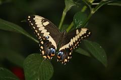 Tiger Swallowtail (Jeanie's Pics) Tags: nature butterfly wings tigerswallowtail magicwings magicwingsbutterflyconservatory tigerswallowtailbutterfly southdeerfieldma