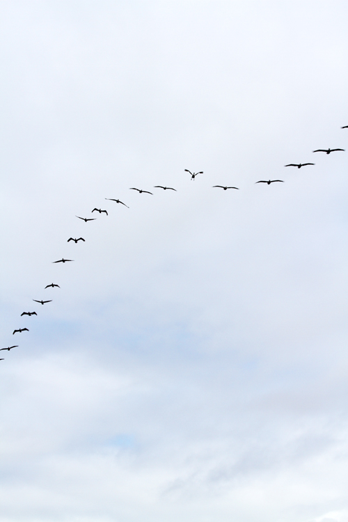 flight patterns of the brown pelican
