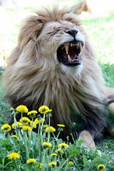 """dandelion"" - ""Lwenzahn"" (marfis75) Tags: africa man cat zoo leo teeth lion yawn blumen dandelion cc beast afrika mann katze predator roar kater zhne tomcat lwe rudel zooerfurt ghnen gebiss zahn taraxacum lwenzahn mnnlich pantheraleo jawn raubtier ccbysa marfis75 groskatze dedelion marfis75onflickr wellroardlion"