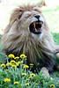 """""""dandelion"""" - """"Löwenzahn"""" (marfis75) Tags: marfis75 marfis75onflickr raubtier löwe lion katze cat dandelion groskatze zahn zähne gebiss gähnen jawn yawn rudel tomcat man mann männlich kater afrika africa blumen teeth wellroardlion roar leo pantheraleo löwenzahn dedelion taraxacum zoo zooerfurt beast predator cc ccbysa"""