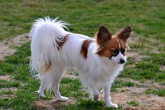 Cody (Pappup2010) Tags: dog pet white cute animal butterfly puppy toy small sable canine papillon pup breed pap toybreed butterflydog whiteandsable