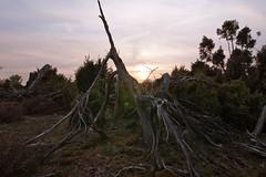 Lingen - Wacholderhain bei Wachendorf (milanpaul) Tags: landscape deutschland licht alt natur tokina1224 lensflare april landschaft baum frhling emsland wacholderhain niedersachsen 2011 canoneos450