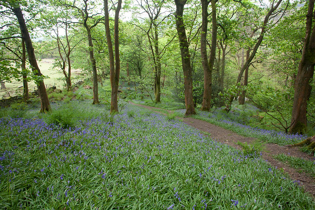 Bluebells in the Hardcastle Crags
