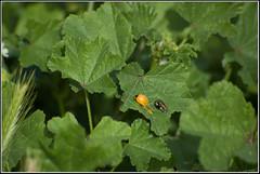 Seven-spot ladybird -   (Eran Finkle) Tags: macro closeup ladybird ladybug ladybeetle coccinellidae coccinellaseptempunctata newlyemerged