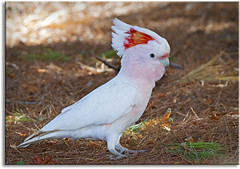 Major Mitchell's Cockatoo (Pink Cockatoo) (aaardvaark) Tags: australia nsw pinkcockatoo majormitchellscockatoo merriwagga 20110426mg0074majormitchellcockatoomerriwagga