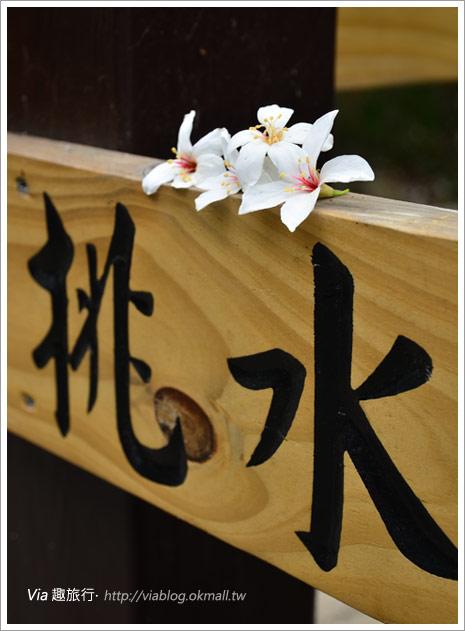 【2011客家桐花祭】桐花最新情報~彰化挑水古道賞桐花1-10