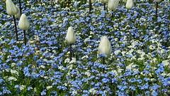20110427 Berlin Britzer Garten Tulipan Blumen Tulpen Wiese (8) (j.ardin) Tags: white flower berlin blanco fleur germany deutschland tulips blossom flor blumen tulip bloom alemania forgetmenot blte weiss allemagne blanc garten tulipa neuklln tulpen tulpe nomeolvides vergissmeinnicht britz tulipan myosotis britzergarten fleuraison floracin tulpenschau
