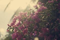 27.4.11 (obo-bobolina) Tags: flowers backlight malaysia april 365 cherating 2011 project365