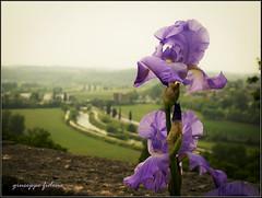 Spring time (Giusfido63') Tags: iris sky panorama verde green water alberi canon landscape fiume violet natura cielo fiore acqua viola colline canale g12 mincio prati giaggiolo giusfido63 pacrosigurt