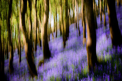 Mr o las - Sea of blue (Sian Bowi) Tags: bluebells forest woodland icm coedwig d700 clychaurgg intentionalcameramovement sinbowi cwmnigwych fabcompanion