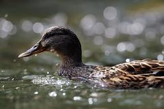 4 hours (JPBWright) Tags: bird photography nikon 600 mallard mm nikkor freshford f4 600mm d3s