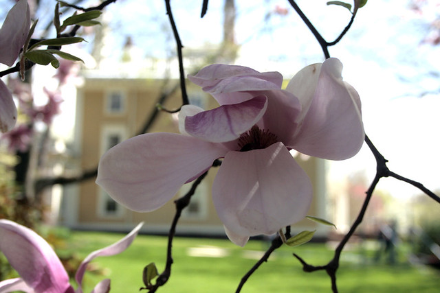fleeting magnolias