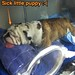 Feel better @tauruscalacanis (bulldog post soft palate surgery & tracheotomy)
