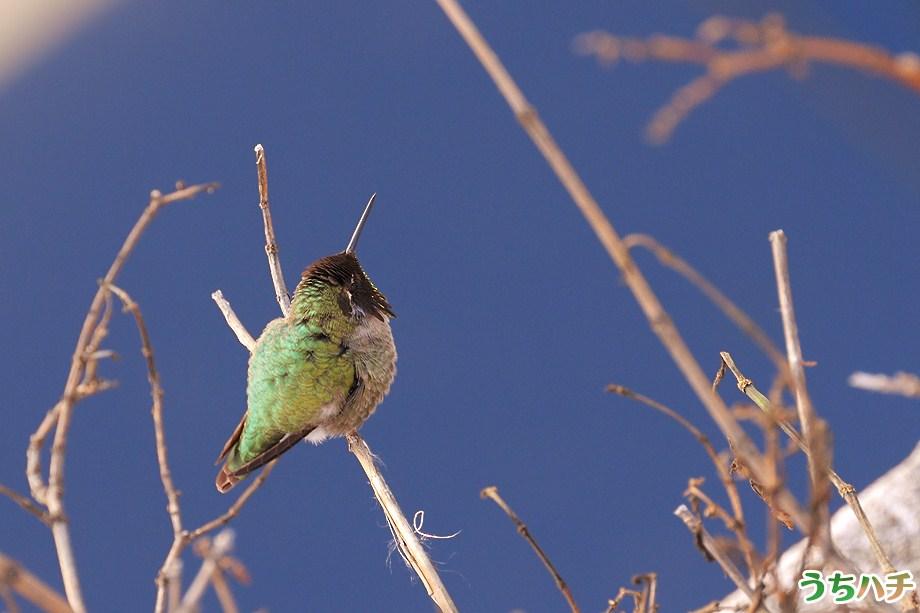 Anna's Hummingbird 010111-5