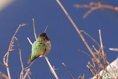 Anna's Hummingbird 010111-5 (luluhachidori) Tags: california pink orange bird canon eos hummingbird purple allens southern 7d annas costas   allofnatureswildlifelevel1 allofnatureswildlifelevel2