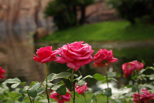 Roses by Isabel Maria Bush