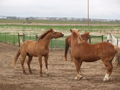 Mac v. Dunny, Sparring (lostinfog) Tags: colorado april 2011 201104 mac dunny e300 horses horse