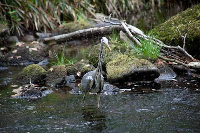 Heron fishing in Hebden Water