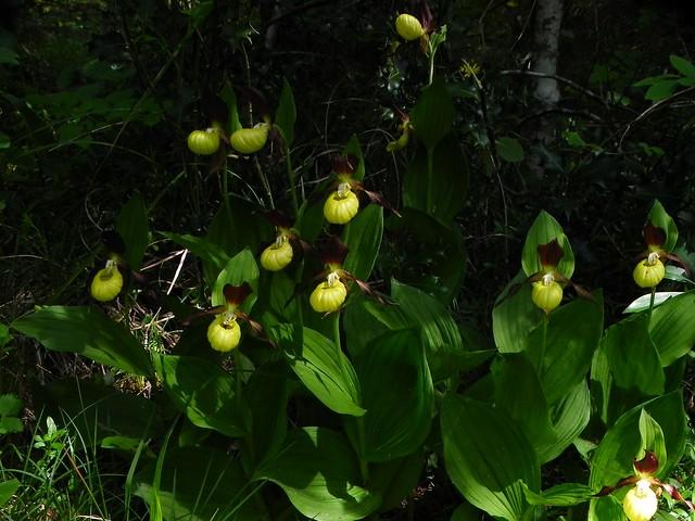 Sabot de Venus=Cypripedium calceolus - Planfait 017