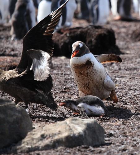 Gentoo Penguin rescues its Chick from a Brown Skua