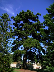 Araucaria cunninghamii 5 (barryaceae) Tags: royal botanic gardens sydney australianrainforestplants australian rainforest plants species new south wales australia ausrfps araucaria cunninghamii hoop pine araucariaceae conifer conifers