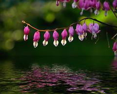 Reflected Love (Fort Photo) Tags: flowers plant flower macro reflection nature flora nikon heart flood bleedingheart extension botany ff extensionring kenko d700