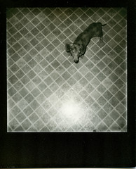 PX 600 UV+ BB, Strudel the Dachshund (mat4226) Tags: blackandwhite bw dog cute film closeup project puppy polaroid cool uv flash adorable dachshund 600 integral weiner strudel plasticcamera impossible blackborder onestep filmphotography instantfilm 600iso theimpossibleproject px600 believeinfilm