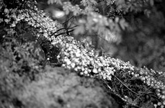 Sedum (david.davis) Tags: trix400 buttecreekfalls