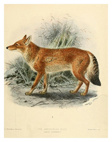 011-lobo de Abisinia-Dogs jackals wolves and foxes…1890- J.G. Kulemans