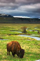 American Bison - Yellowstone National Park (David Renwald) Tags: bison lamarvalley yellowstonepark