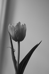 Tullip (Nils Croes) Tags: life blackandwhite flower amsterdam canon 350d soft 50 tullip