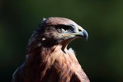 Poiana (carlo612001) Tags: poiana buzzard oasidisantalessio bird birds birdsofprey beak eye raptors falconeria falconry