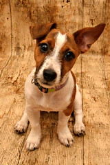 Little Lexi (Photography By Haylea) Tags: pup puppy puppies dog pet dogs pets cross breed yorkie jack russell cute sweet tiny little