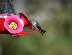 Anna's Hummingbird (careth@2012) Tags: wildlife nature hummingbird feathers bird birdfeeder annashummingbird