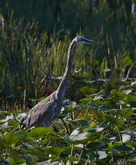 Sep 28 201615841 (Lake Worth) Tags: animal animals bird birdwatcher birds canonef500mmf4lisiiusm canoneos1dxmarkii everglades feathers florida nature outdoor southflorida waterbirds wetlands wildlife wing