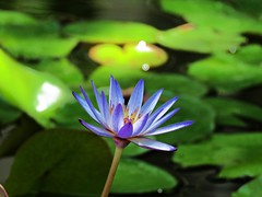 silence of summer (oneroadlucky) Tags: nature plant flower lotus waterlily purple