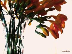سکوت و آرامش (no0shin) Tags: flower yellow you calm silence رنگ سکوت آرامش