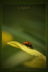 Ladybird (Paul Simpson Photography) Tags: uk flowers england macro nature insect spring dof bokeh daffodil ladybird ladybug creatures f5 naturalworld mothernature floraandfauna naturephotography macrophotography naturescenes naturephotos fawna faunaandflora insectworld insectmacro imagesofnature redinsects insectphotography photosofinsects atonewithnature sonya700 sonyphotos insectphotos march2011 ladybirdphotos ladybirdimages paulsimpsonphotography sonyphotochallenge httpwwwsonyalpharumorscom photosofladybirds photosofladybugs insectspots photosofinsectmarkings photosofinsectspots ladybugphotos ladybugimages imagesfromasonycamera